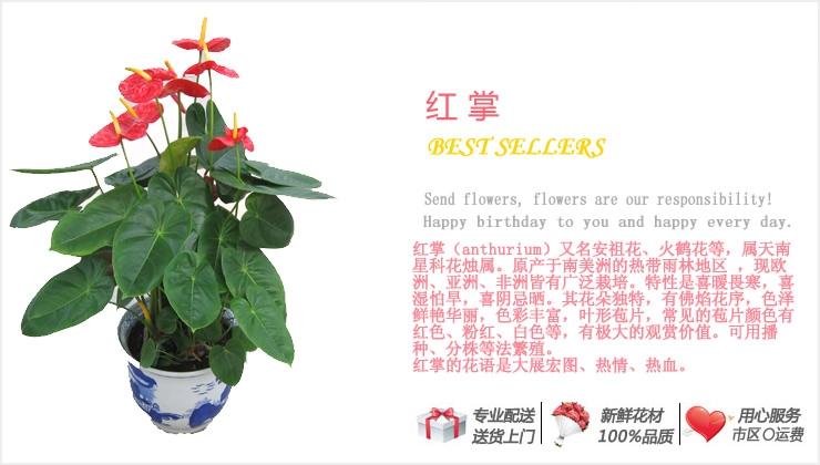 红掌—快送鲜花网 绿植花卉 办公室绿植 市内绿植 上海绿植 重庆绿植 水培花