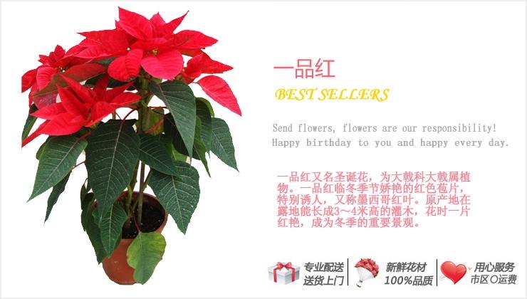 一品红—快送鲜花网 绿植花卉 办公室绿植 市内绿植 上海绿植 重庆绿植 异地送鲜花
