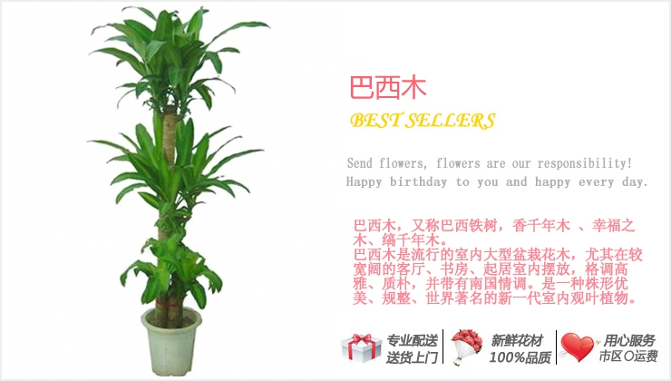 巴西木—快送鲜花网|绿植花卉|办公室绿植|市内绿植|上海绿植|重庆绿植|异地送鲜花